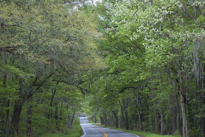 living canopy over a road in South Carolina